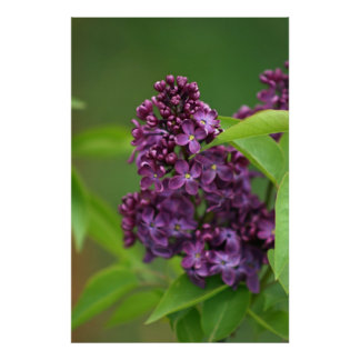 Purple Lilac Poster