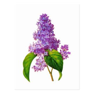 Purple Lilacs by Pierre-Joseph Redoute Postcard