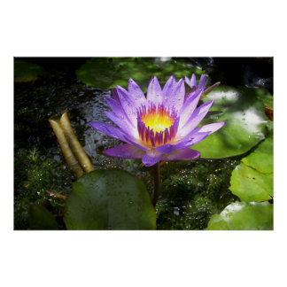 Purple lilly in pond poster