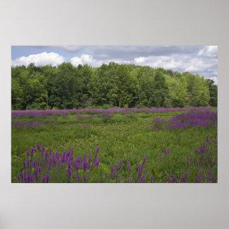 Purple Loosestrife print