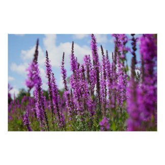 Purple Loosestrife Wildflowers Poster