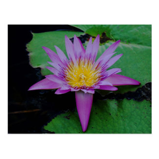 Purple Lotus Flower With Lily Pad Post Card