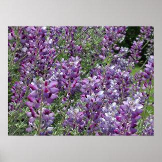 Purple Lupine Near Bridgeport Posters
