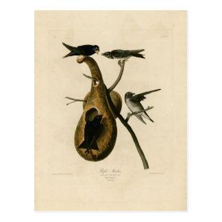 Purple Martin Bird Illustration Postcard
