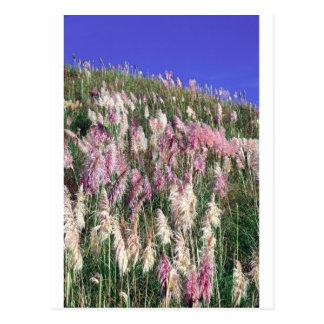 Purple New Zealand toetoe (toitoi) tall grass Postcard