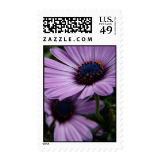 """Purple Osteospermum flowers"" Osteospermum Eckloni Postage Stamp"