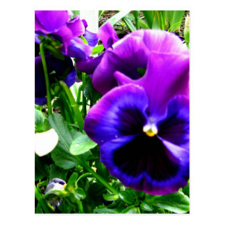 Purple Pansies Postcard