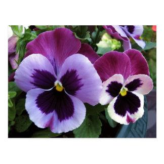 Purple Pansy Buddies Postcard