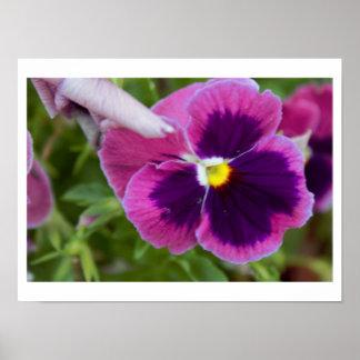 Purple Pansy Photo Poster
