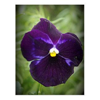 Purple Pansy Postcard