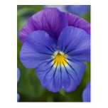 Purple Pansy Postcard