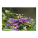 Purple Passion Flower Nature Poster