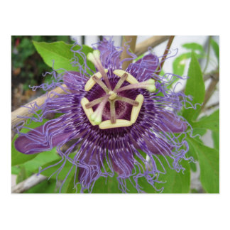 Purple Passion Flower Postcard
