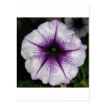Purple Petunia Post Cards