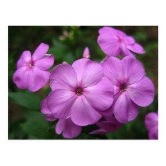 Purple Phlox Flowers Postcards