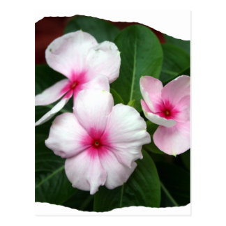 Purple Pinwheel Flowers Photograph Postcard