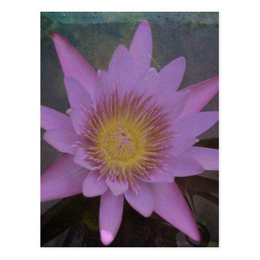 Purple Pond Lotus Postcard