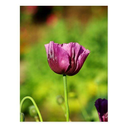 Purple Poppy Post Card