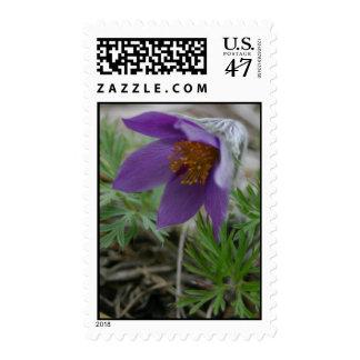 Purple prairie pasque North and South Dakota state Postage Stamp