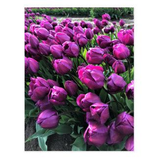 Purple Prince Tulips Postcard