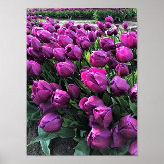Purple Prince Tulips Poster
