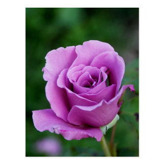 Purple Rose Bud Postcard