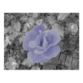 Purple Rose Postcard