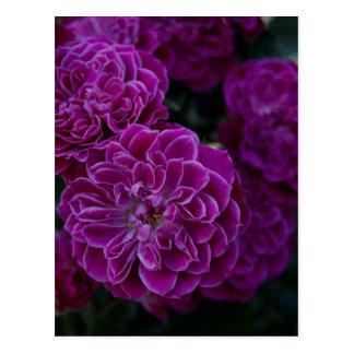 Purple Rose Postcard