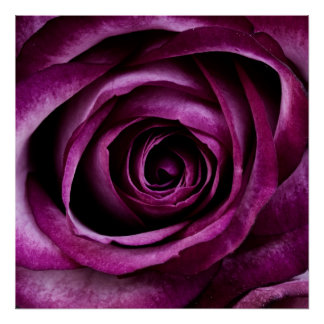 Purple Rose Poster