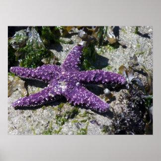 Purple Sea Star Poster