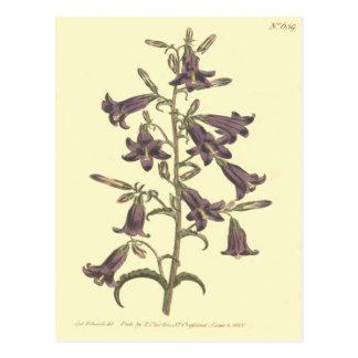 Purple Siberian Bellflower Illustration Postcard