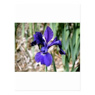 Purple Snap Dragon Postcard