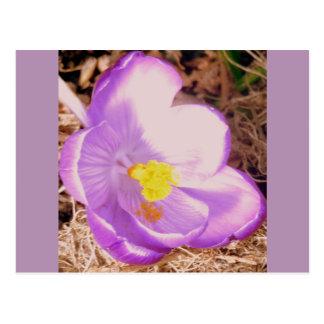 Purple Spring Crocus Postcard