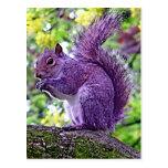 Purple Squirrel Post Cards