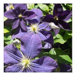 Purple Star Clematis Flowers with Greenery Acrylic Wall Art