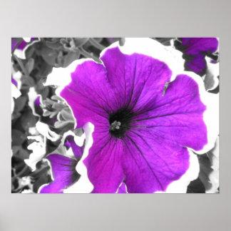 Purple Tinted Black and White Petunias Poster