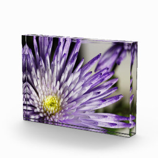 Purple Tipped Spider Mum Acrylic Print Acrylic Award