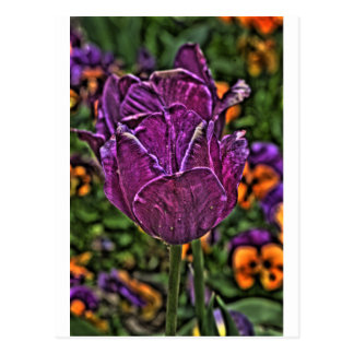 purple tulip 2 postcard