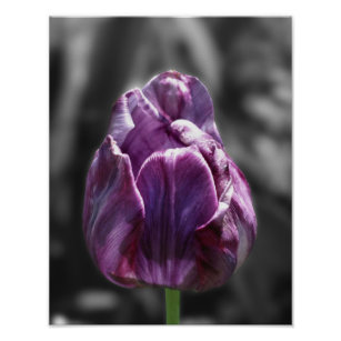 Black white tulips posters zazzle purple tulip black and white flower poster mightylinksfo