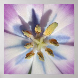 Purple Tulip Burst Poster