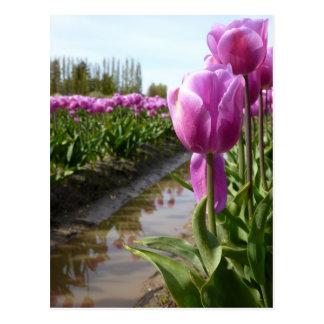Purple Tulip Fields & Reflections Postcard