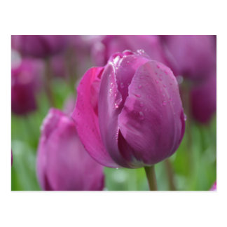 Purple Tulip with water drops Postcard