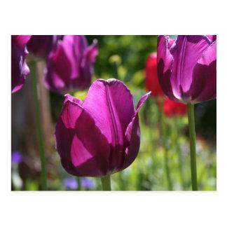 Purple Tulips 2007 Postcard