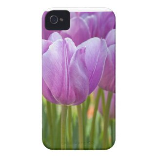 Purple Tulips Blooming in Spring Blackberry Bold Cover
