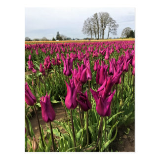 Purple Tulips in the Field Postcard
