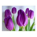 Purple Tulips Post Cards