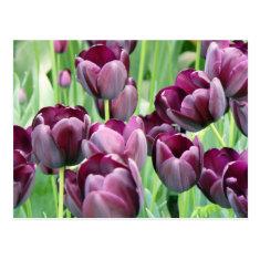 Purple Tullips Postcard
