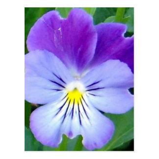 Purple Violet-Upclose Postcard