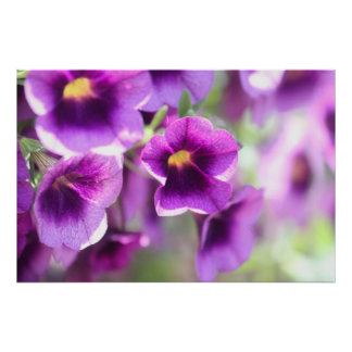 Purple Violets Wall Poster