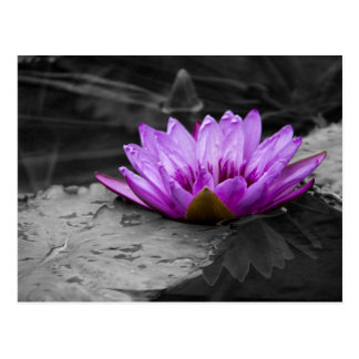 Purple Water Lily 002 Black and White Background Postcard
